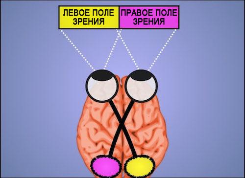 Нейроанатомическая структура